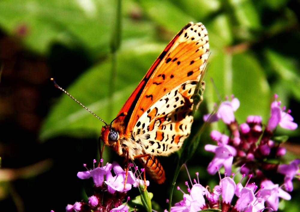 Farfalla 8/2009