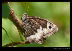 Farfalla 9