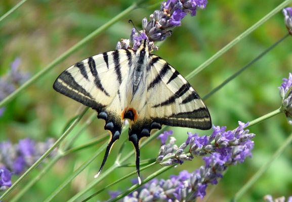 Farfalla a Stio Cilento