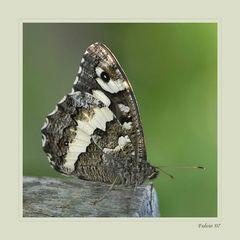 Farfalla barbuta....