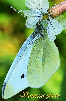 farfalla bianca dagli okki verdi