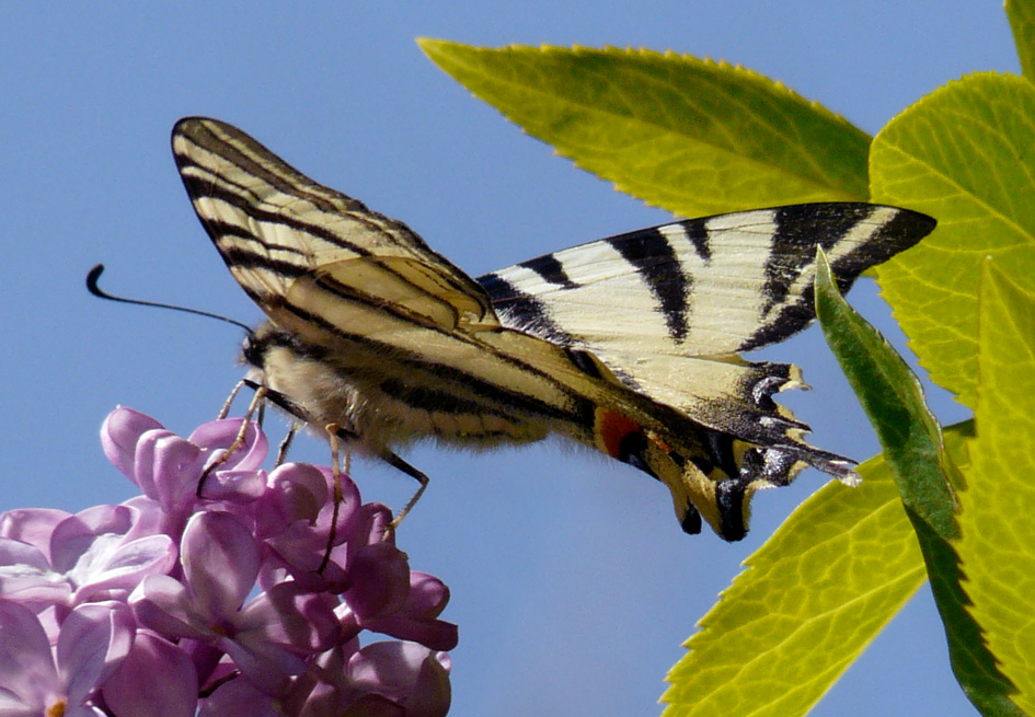 "farfalla ""bianconera"""