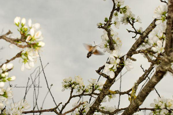Farfalla colibrì