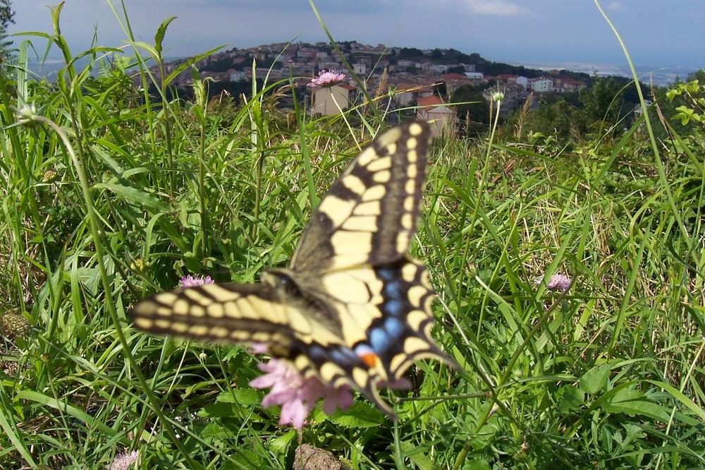 Farfalla di Curinga