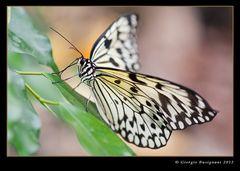 Farfalla Idea leuconoe