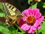 Farfalla in azione