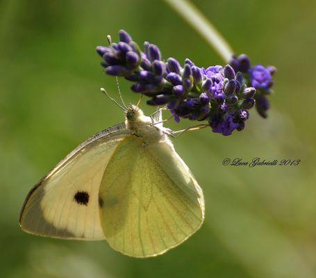 Farfalla in posa