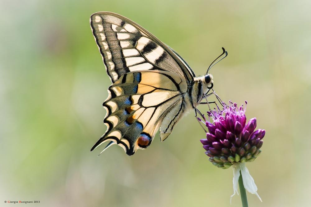 Farfalla macaone papilio machaon 3 foto immagini - Immagini di farfalle a colori ...
