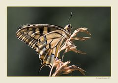 Farfalla Macaone (Papilio machaon) - 6