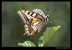 Farfalla Macaone (Papilio machaon)