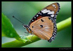 Farfalla Monarca (Danaus Plexippus)