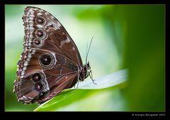 Farfalla Morpho peleides