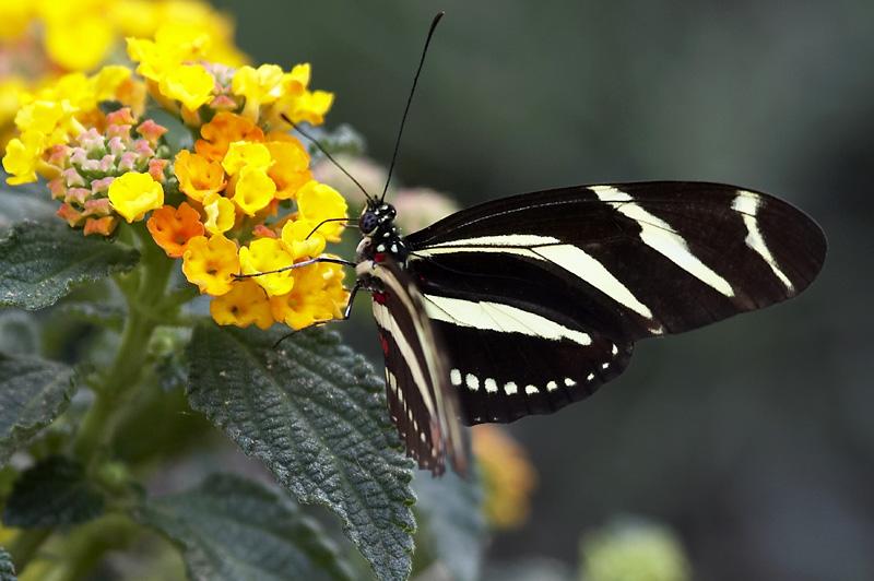 farfalla nera....