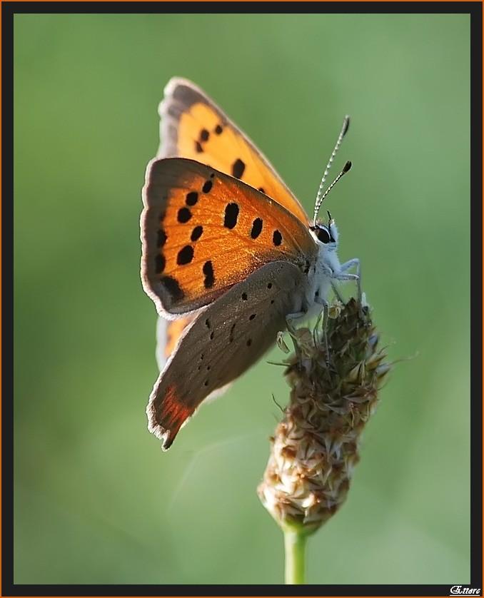 Farfalla seduta