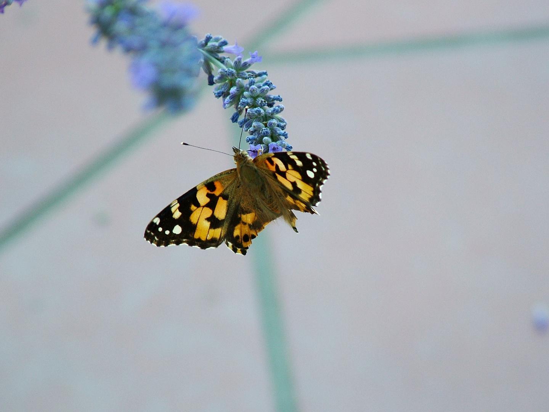 Farfalla senza nome.
