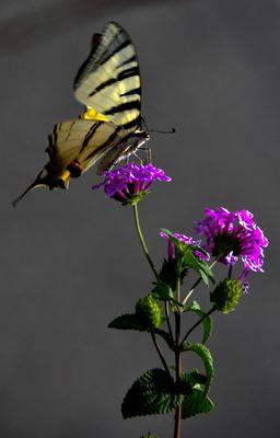 Farfalla su lantana