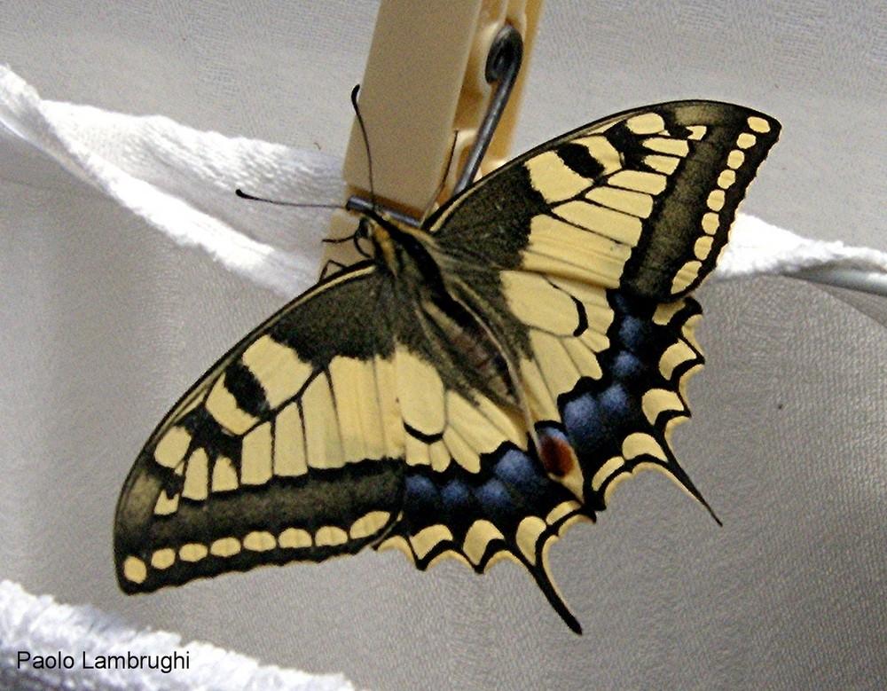 Farfalla sul bucato!
