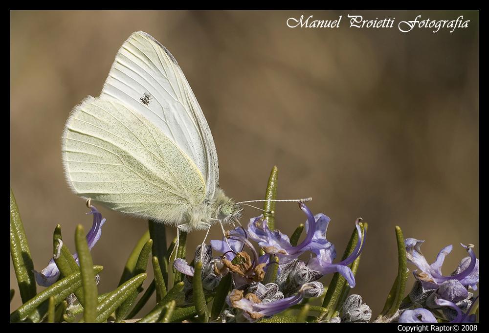 Farfalla Sul Rosmarino