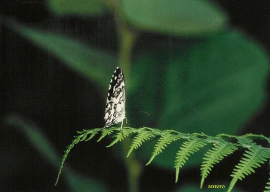 farfalla Val D'ossola