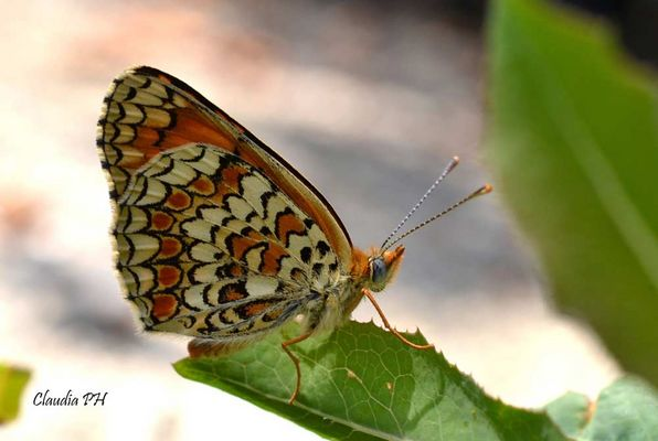 Farfalla....la natura Dipinge