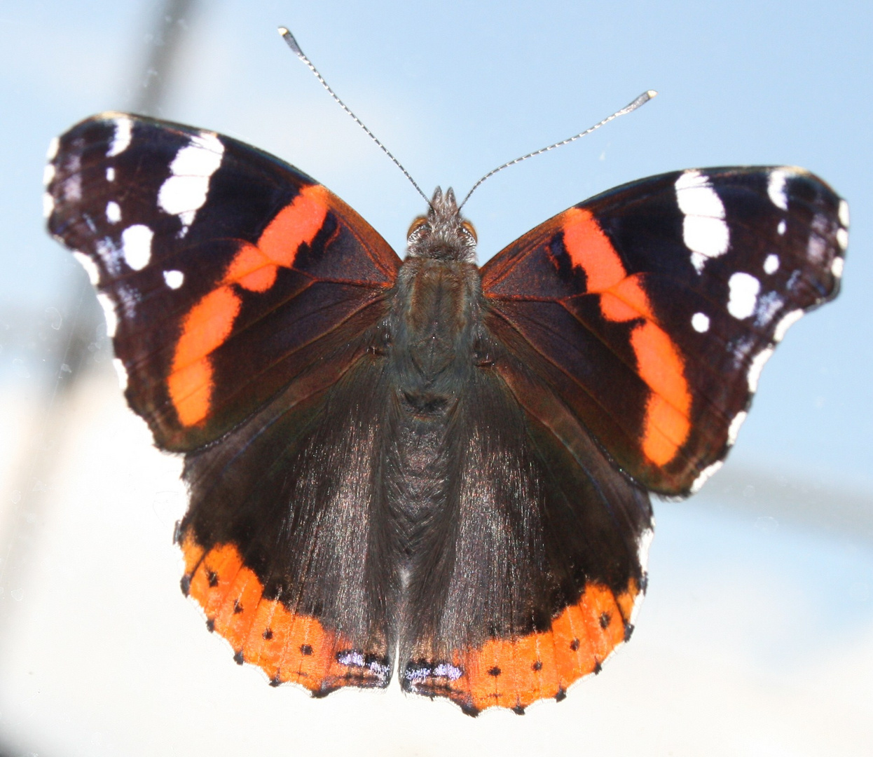 farfalle 1a