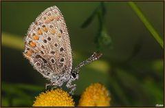 Farfallina leprottina