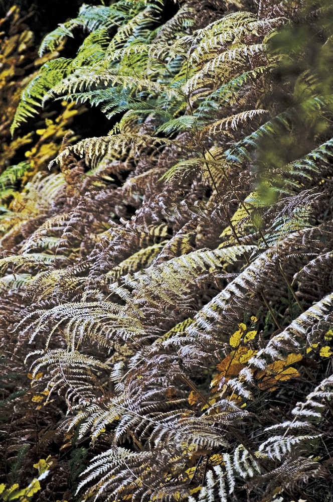 Farn Herbst Waterboer