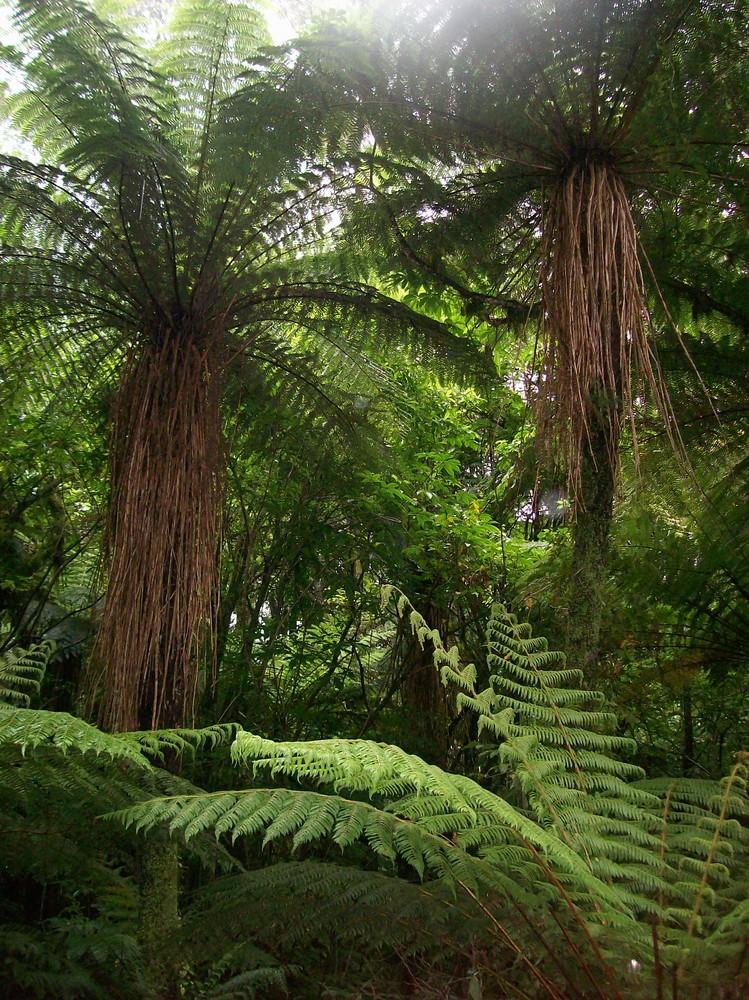 Farnwald in Neuseeland