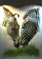 """""""Fast gemalt"""" Zebra-Duo"""
