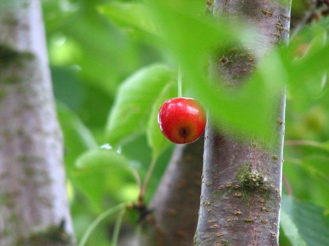 fast reife Kirsche hoch oben im Baum