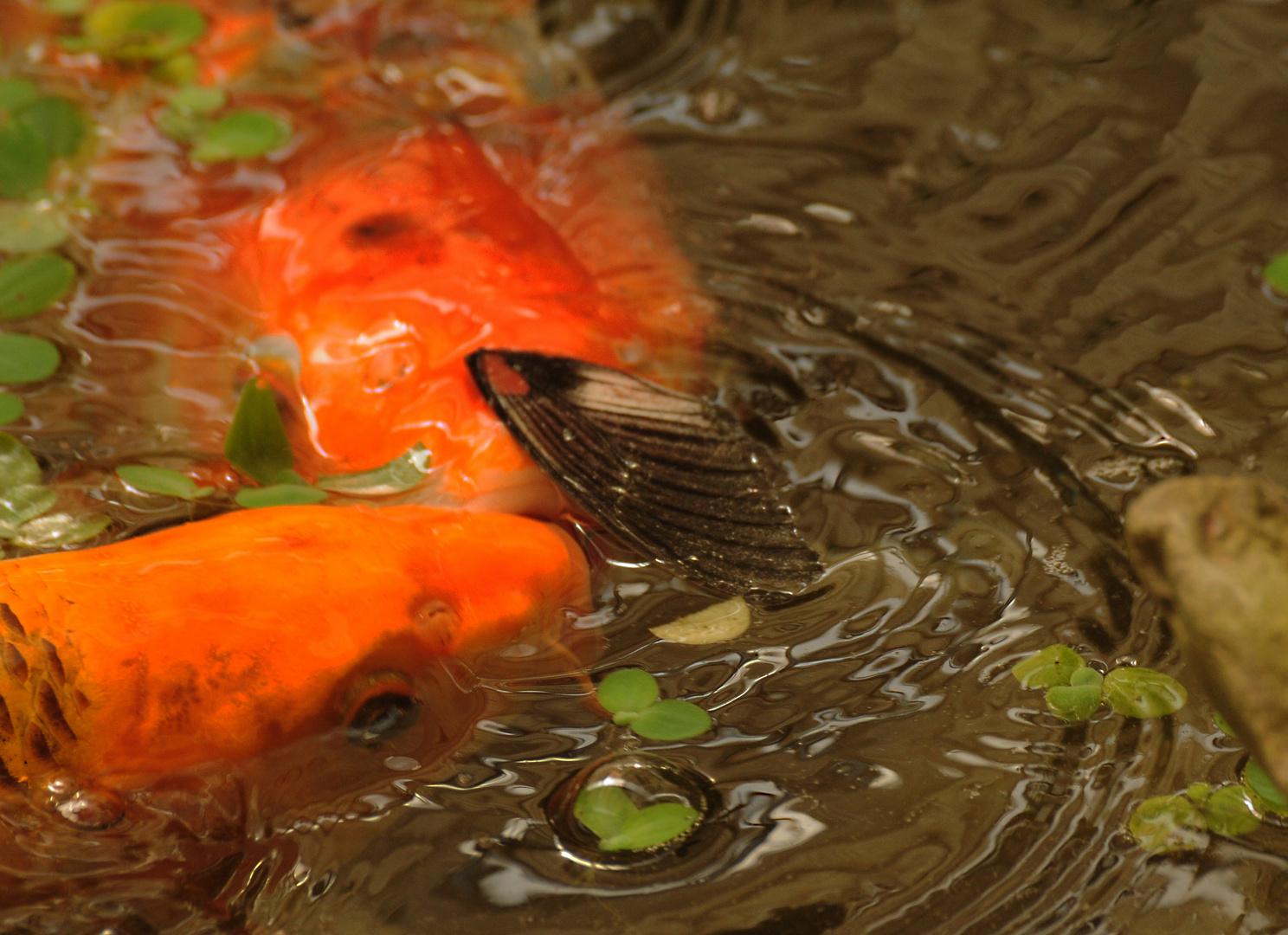 ..fast wie Piranhas...!