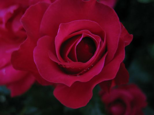 Faszination Rose