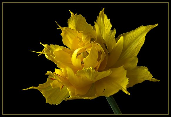 Faszination Tulpen - Foto 2 einer Trilogie