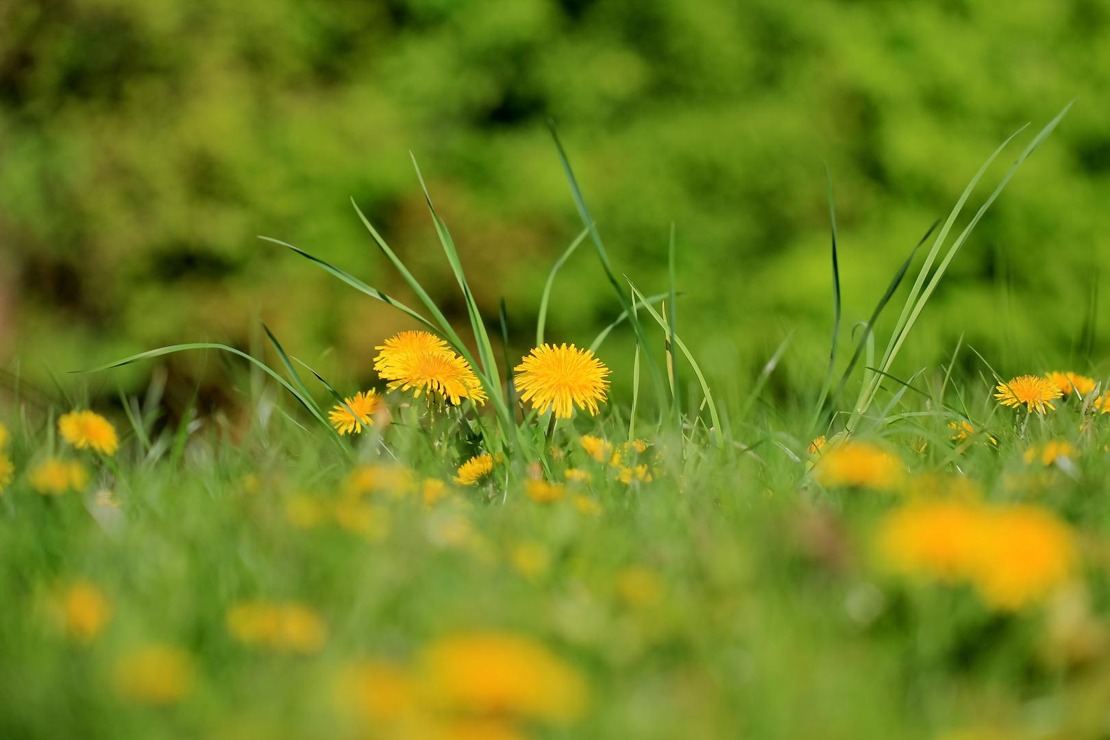 Faszination Wiesenblume