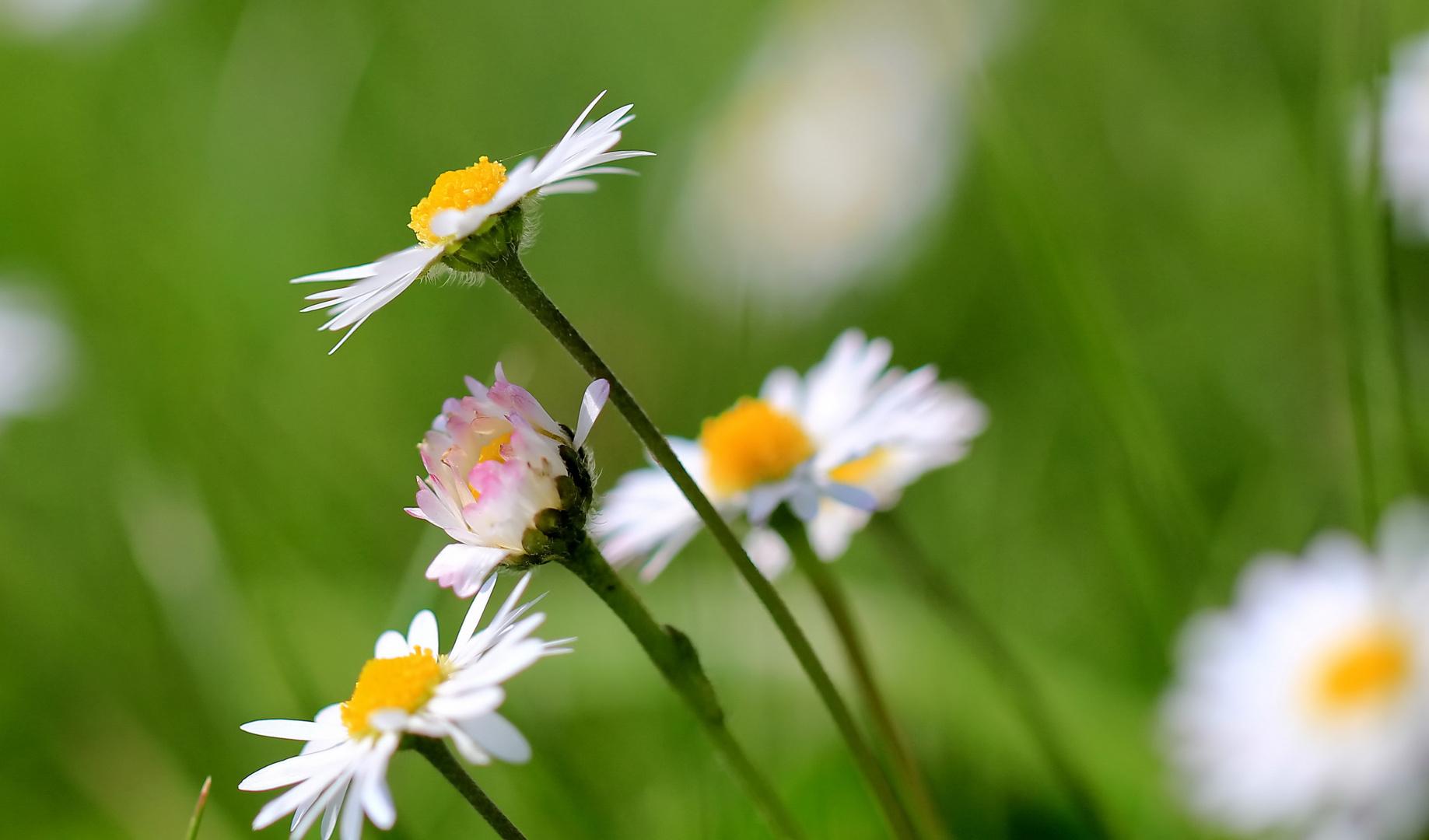 Faszination Wiesenblume 2
