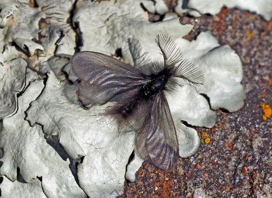 Faszinierende Entdeckung: Fächerfühler-Sackträger (Ptilocephala plumifera) * - Un insecte étonnant!