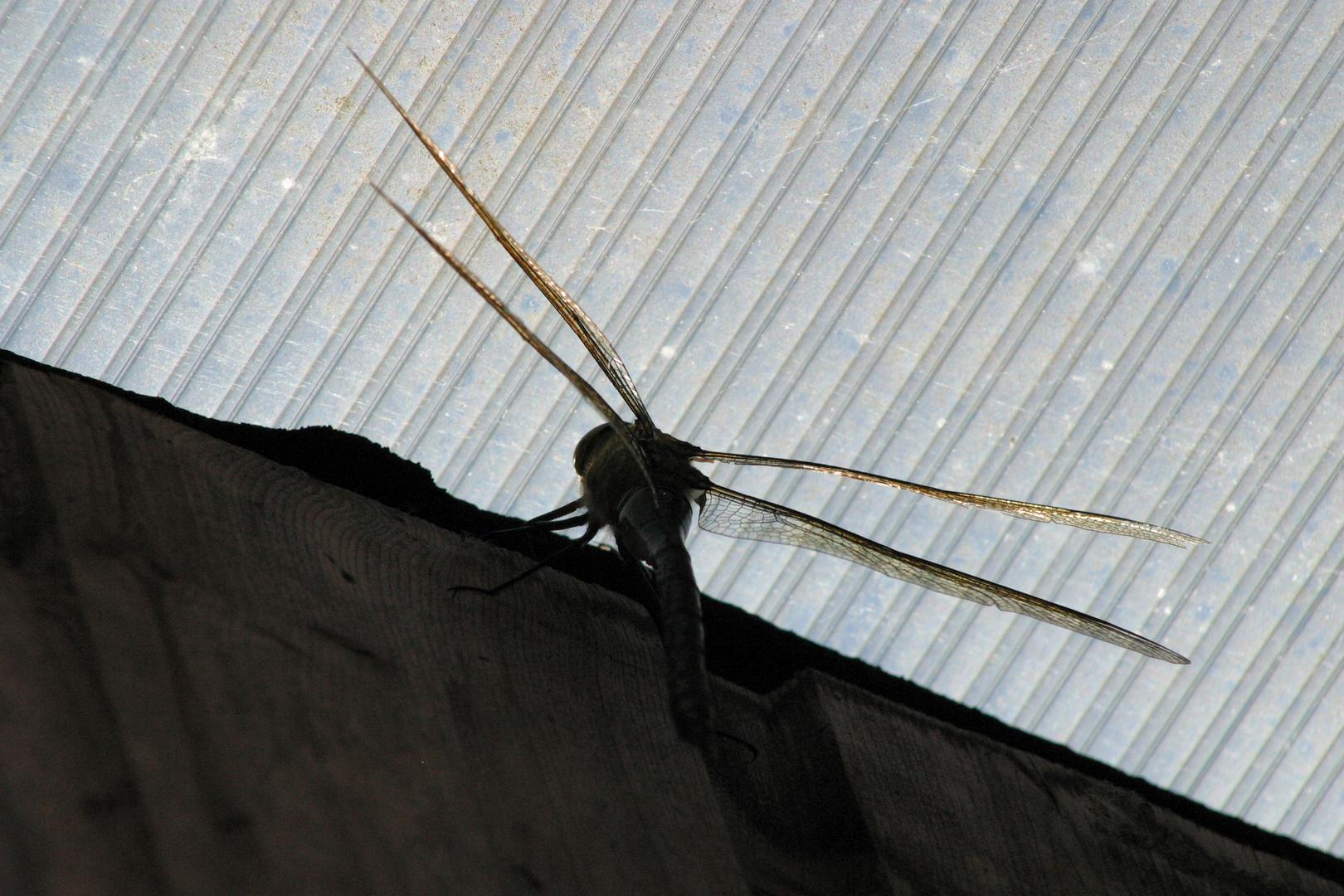 Faszinierende Spannweite einer Libelle