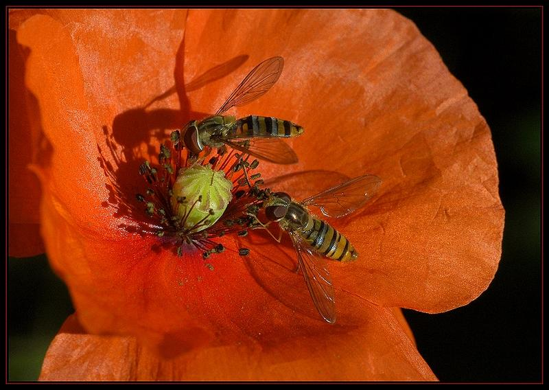 Faszinierende Welt der Schwebfliegen-Die Winterschwebfliege