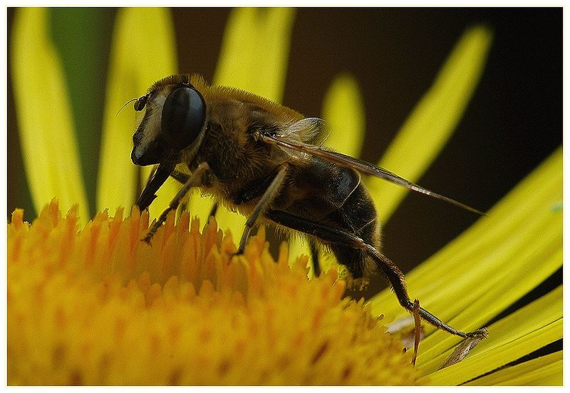 Faszinierende Welt der Schwebfliegen-Mistbiene