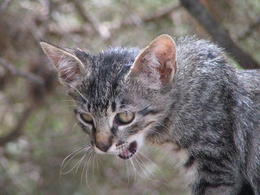 fauchende Katze