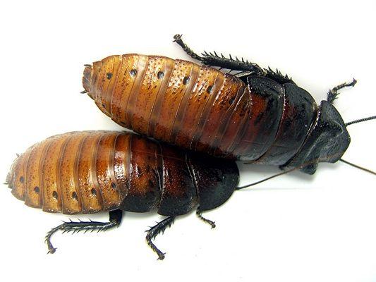 Fauchschabe - Gromphadorhina portentosa (Adultes Paar)