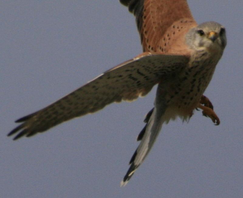 faucon crecerelle en vol