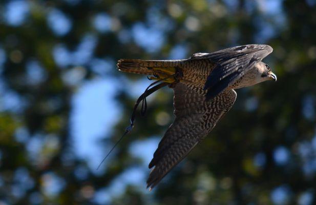 faucon en plein vole