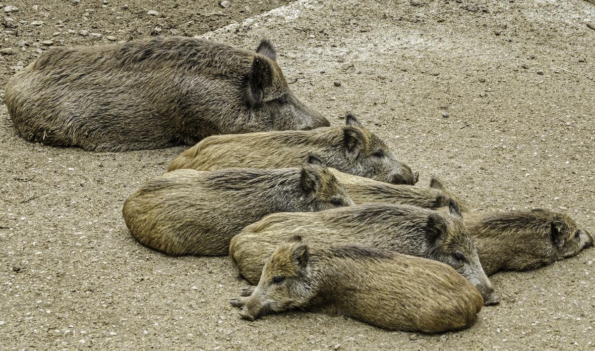 Faule Schweine