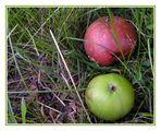 Faulende Äpfel