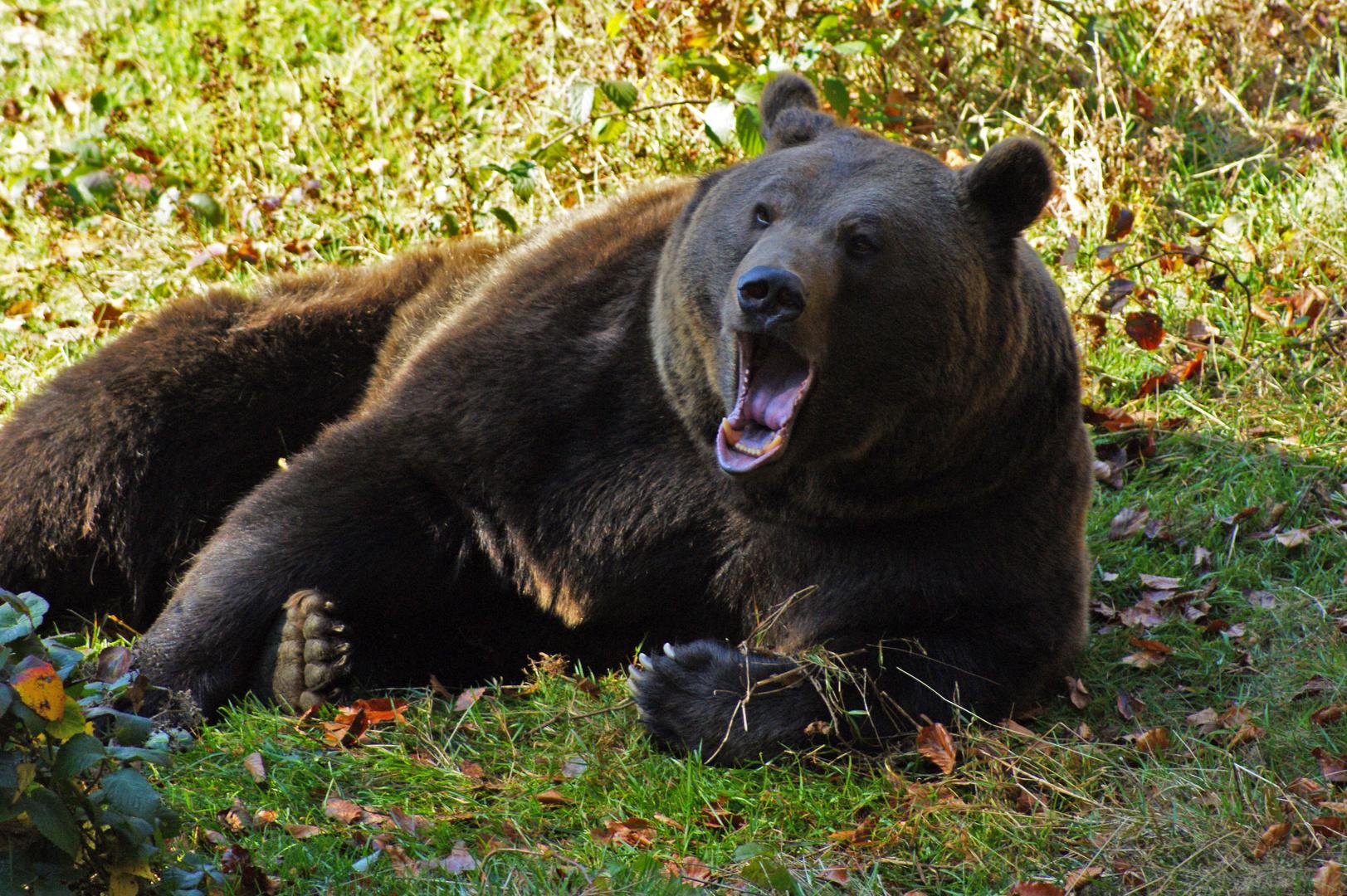 """""""Fauler Bär"""""""