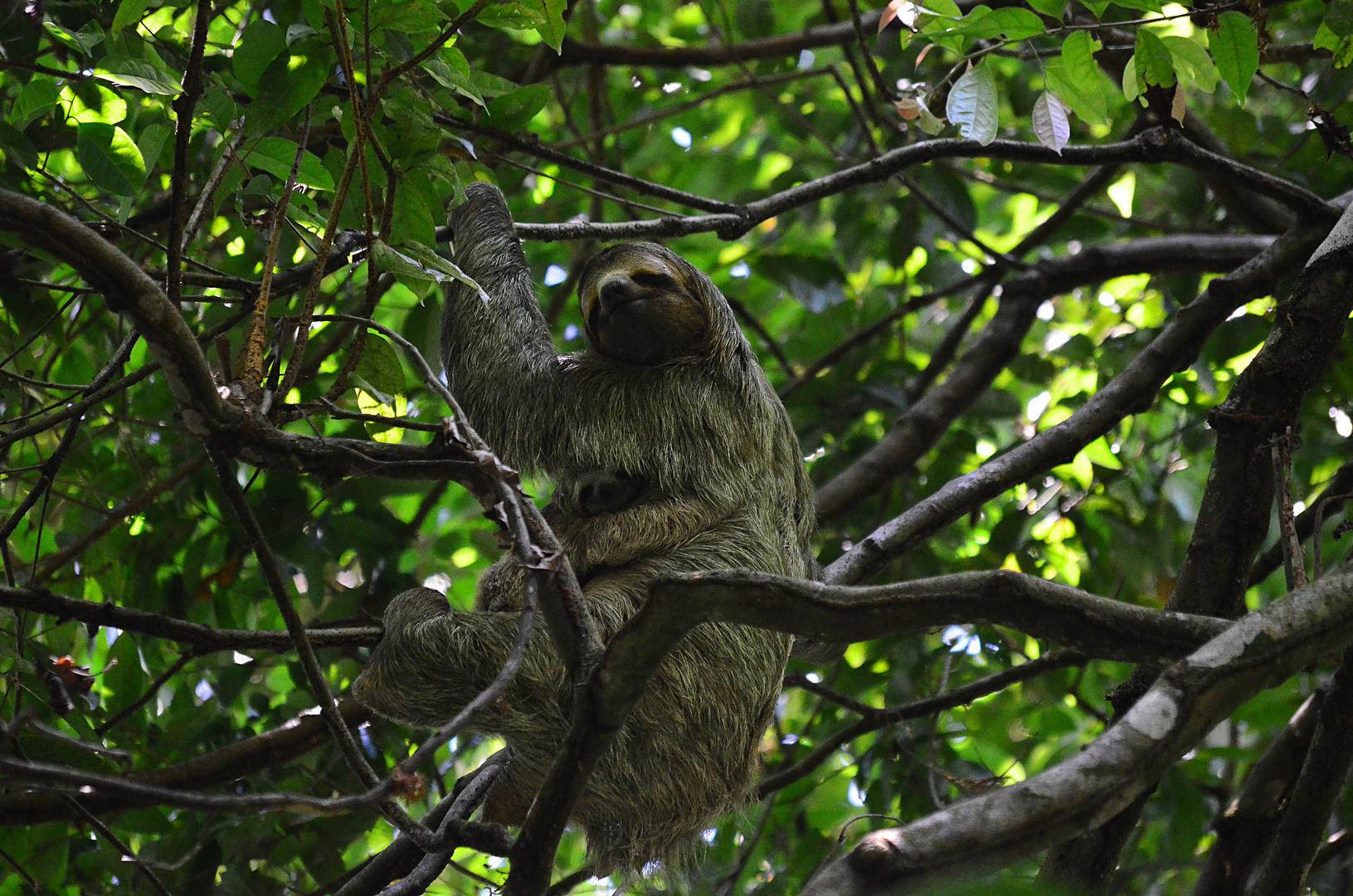 Faultier mit Jungtier in Costa Rica