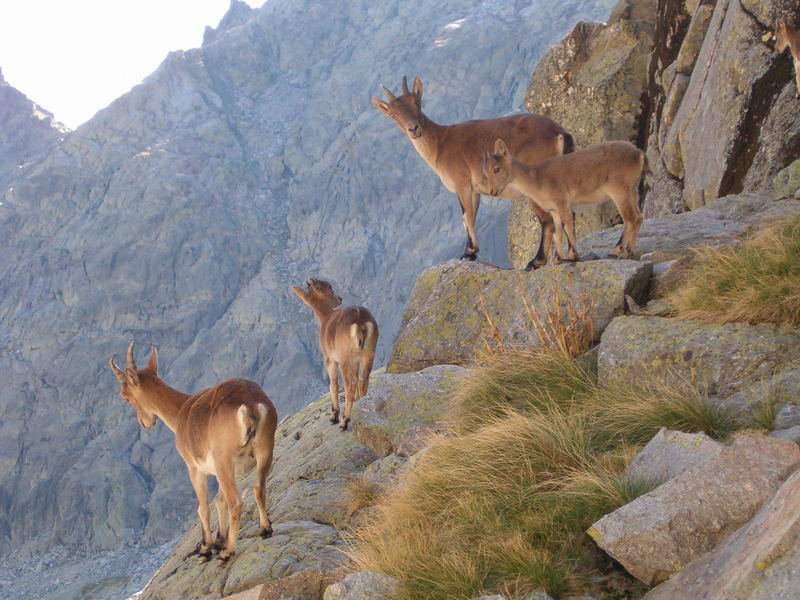 Fauna de Gredos