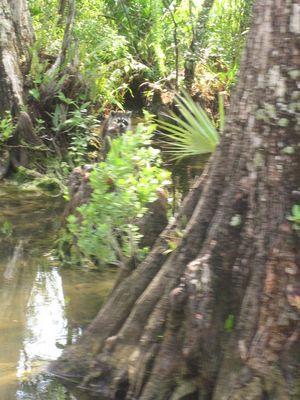 fauna de los everglades