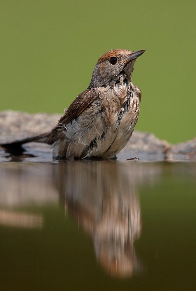 Fauvette à tête noire ( Sylvia atricapilla ) - femelle